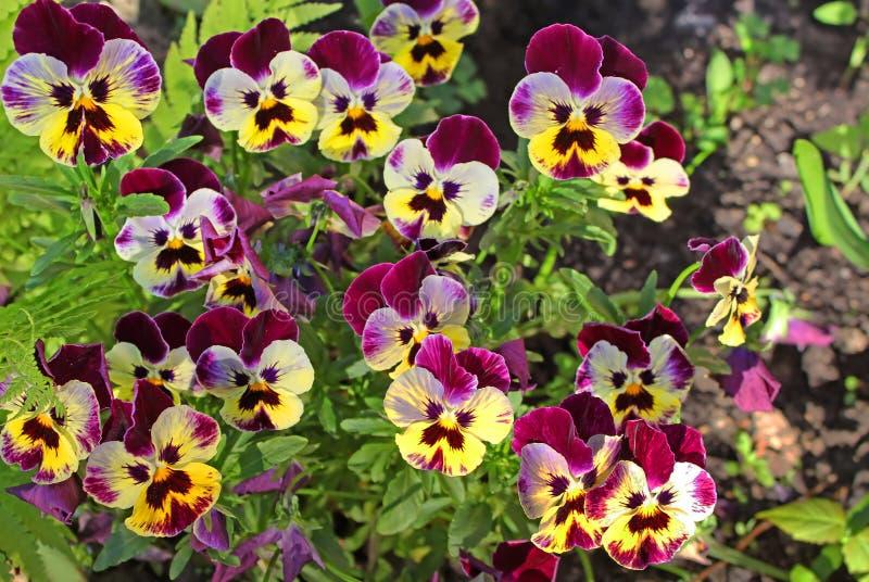 Primeiras flores do amor perfeito na mola foto de stock royalty free