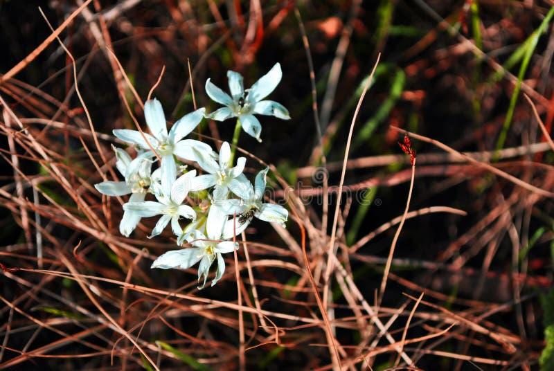 Primeiras flores pequenas brancas da mola que florescem perto acima da opinião superior do detalhe, grama seca obscura imagens de stock