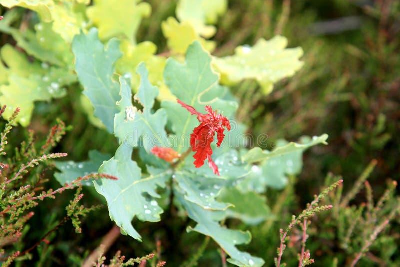 Primeiras folhas do carvalho vermelho na mola imagem de stock