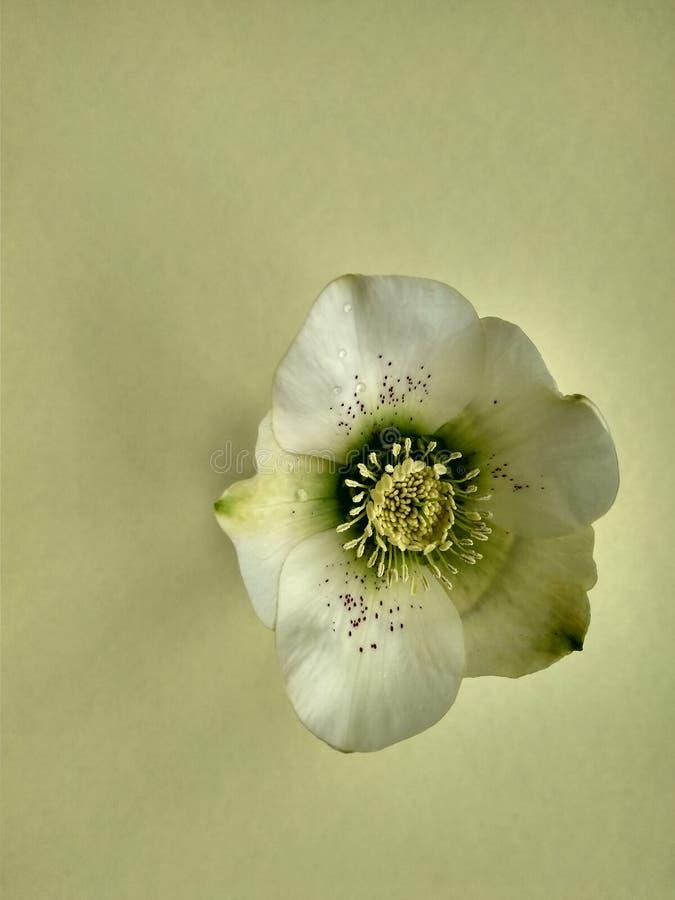 Primeiro hellebore bonito da flor da mola no amarelo fotos de stock royalty free