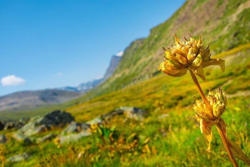 Primeiro plano amarelo da flor da montanha fotos de stock