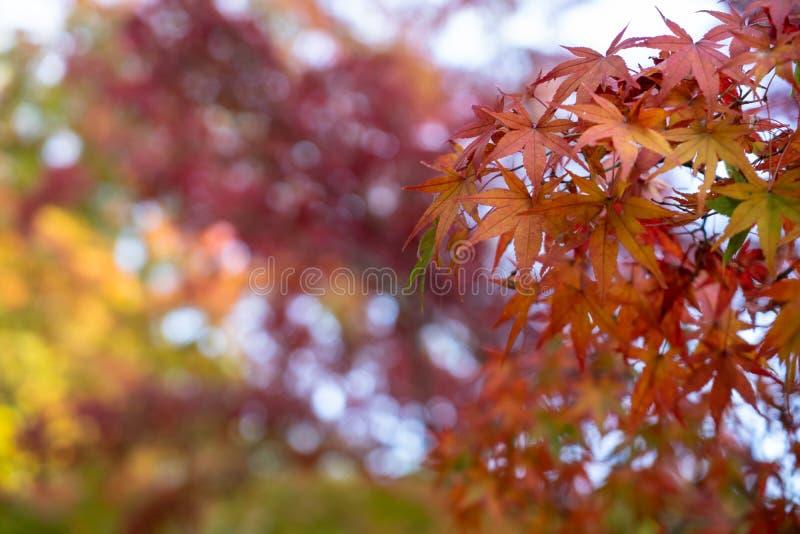 Primeiro plano bonito das folhas de bordo do outono na cor amarela, alaranjada e vermelha com fundo borrado colorido do bokeh, Ky imagem de stock royalty free
