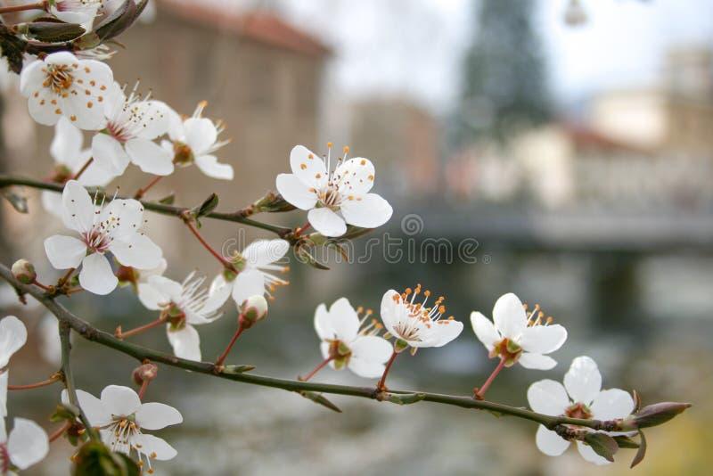 Primeiros botões e flores da flor na primavera foto de stock royalty free