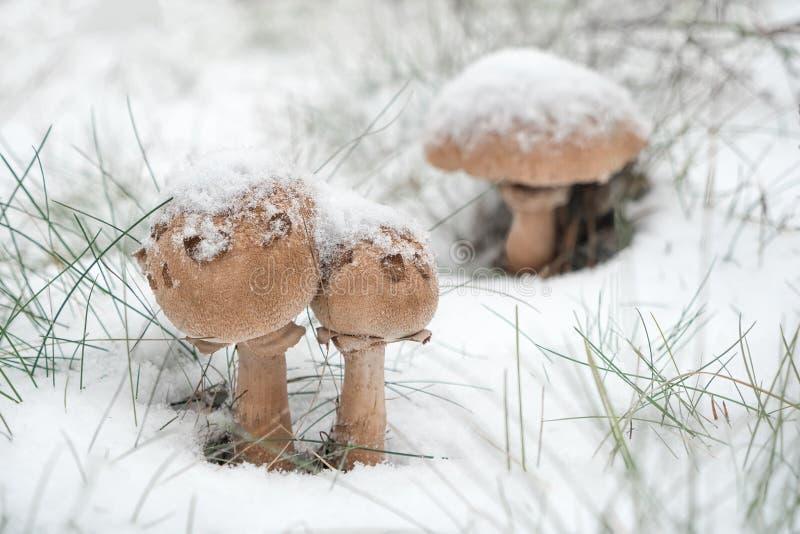 Primeiros cogumelos cobertos de neve e grama verde imagens de stock royalty free