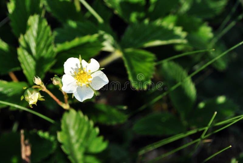 Primeiros folhas, flor e botões do morango silvestre crescendo, mola na floresta, fundo verde obscuro macio imagem de stock royalty free