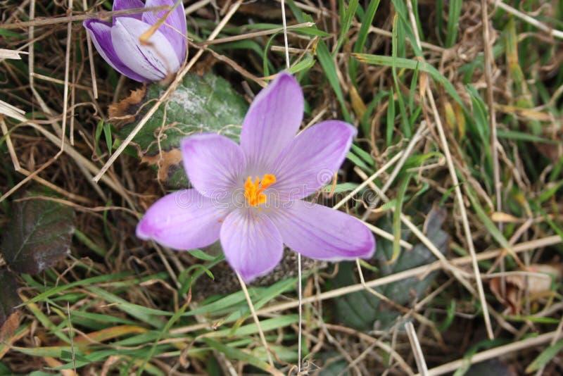 Primeiros frutos das flores A mola está vindo aqui as primeiras plantas da flor de março, a boa estação chegam fotos de stock royalty free