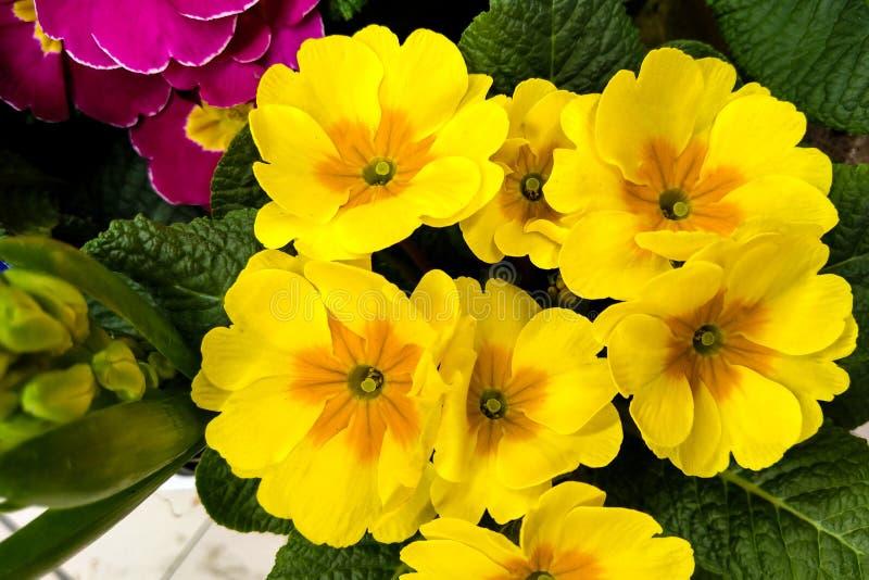 Primel-Primel gemein Gelbe Land-Garten-Primel-Blumen lizenzfreies stockbild