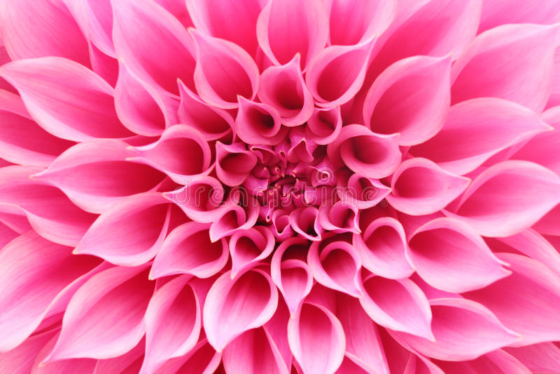 Primer abstracto (macro) de la flor rosada de la dalia con los pétalos bonitos fotografía de archivo