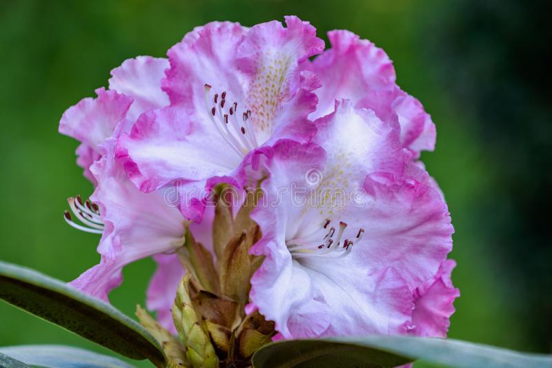 Primer agrandado de las flores del rosa y blancas del rododendro foto de archivo