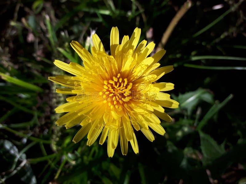 Primer amarillo de la flor del diente de león fotografía de archivo