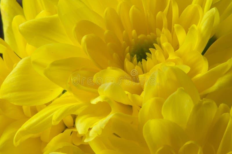 Primer Amarillo del crisantemo Planta decorativa con el doubl enorme foto de archivo