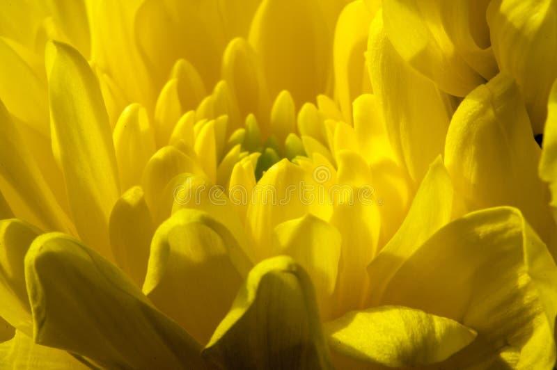 Primer Amarillo del crisantemo Planta decorativa con el doubl enorme fotografía de archivo