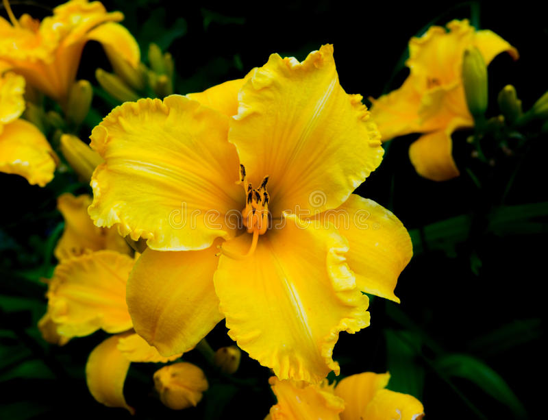 Primer amarillo floreciente del lirio fotos de archivo
