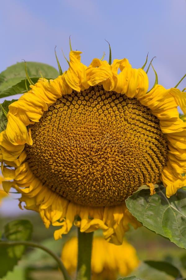 Primer amarillo grande del girasol en fondo del cielo azul imagen de archivo libre de regalías