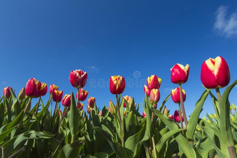 Primer amarillo rojo de los tulipanes contra un cielo azul foto de archivo