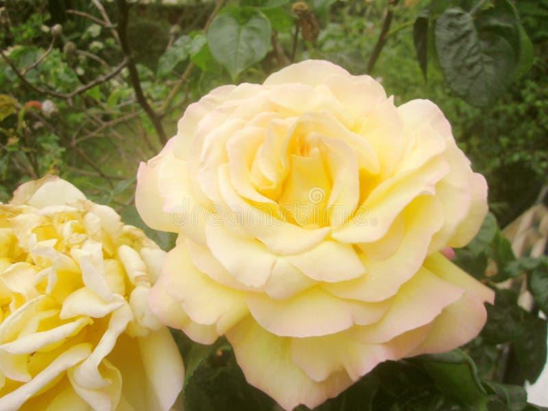 Primer amarillo y rosado de las rosas fotografía de archivo libre de regalías