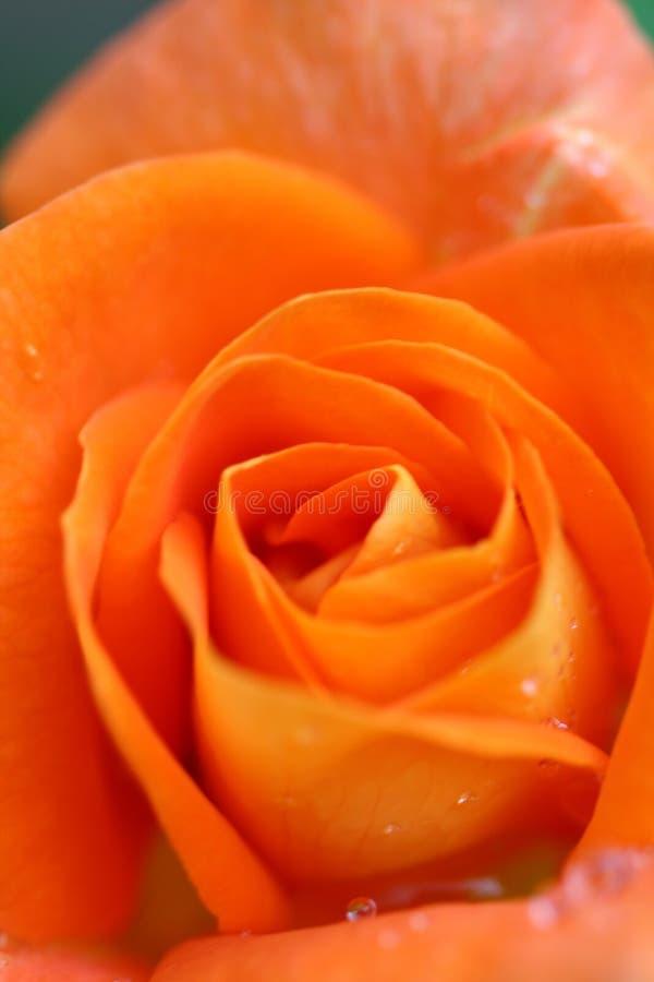 Primer anaranjado de Rose foto de archivo libre de regalías