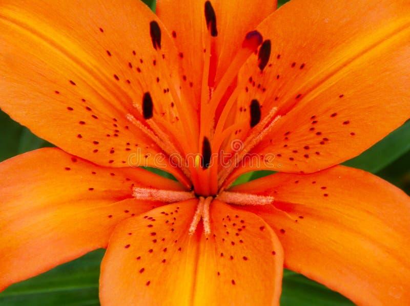 Primer anaranjado rojo de Tiger Lily foto de archivo