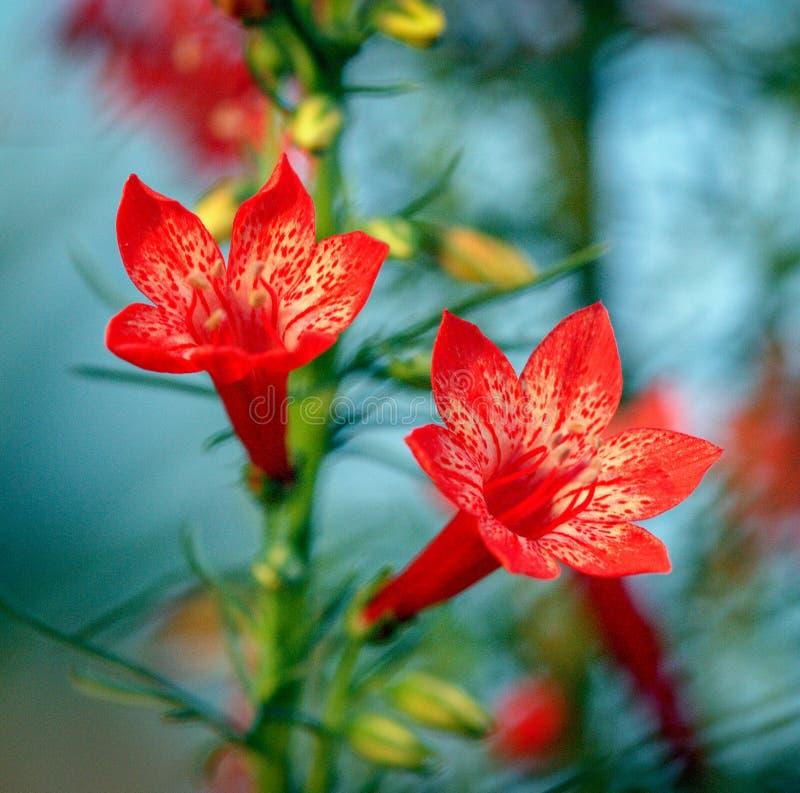 Primer artístico de las flores y de los brotes tubulares rojos hermosos del rubra derecho de Ipomopsis del ciprés fotografía de archivo