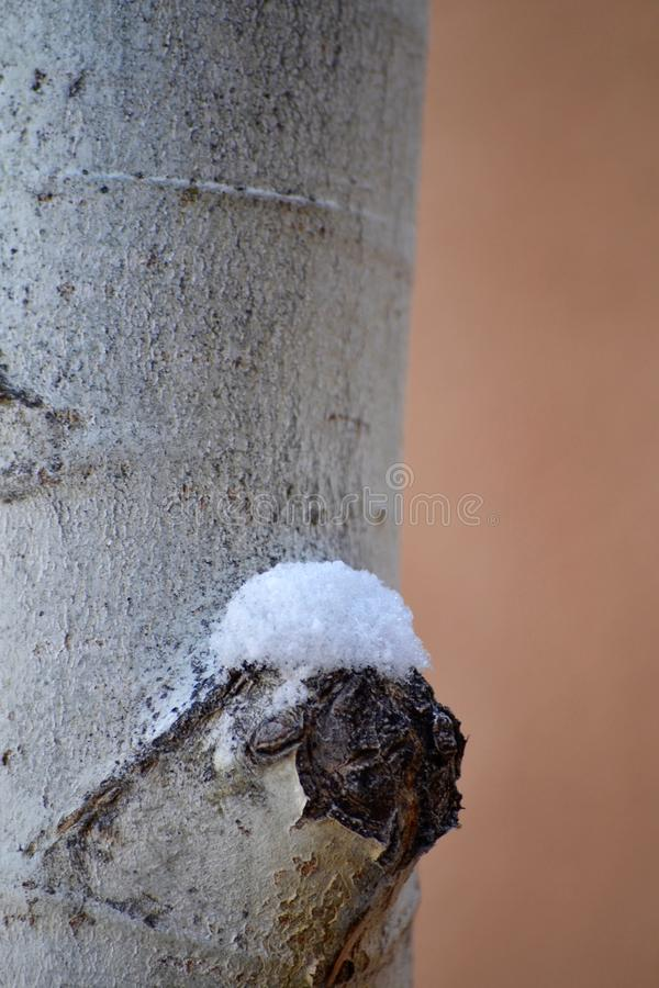 Primer Aspen Tree Trunk Snow foto de archivo