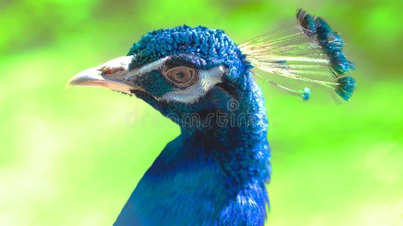 Primer azul de la cabeza del pavo real en un fondo verde imagen de archivo
