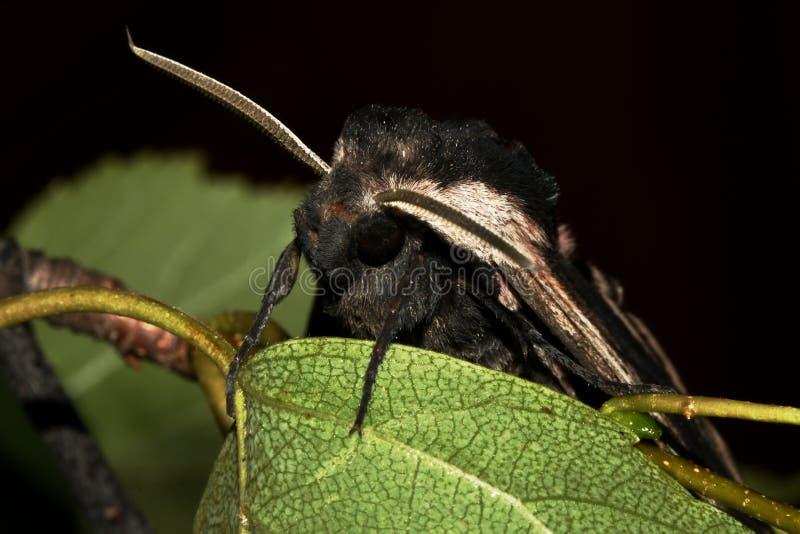 Primer biruny de los hyles de la mariposa en las hojas imagen de archivo libre de regalías