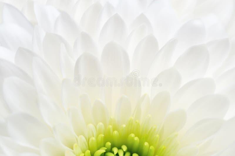 Primer blanco del crisantemo fotografía de archivo libre de regalías