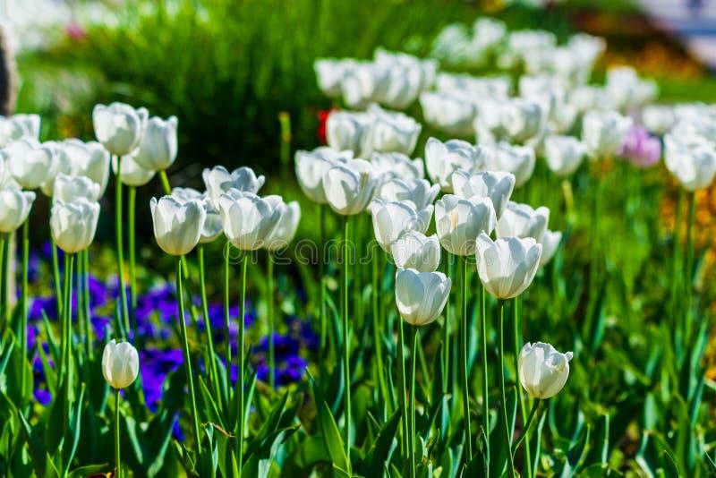 Primer blanco hermoso del macizo de flores de los tulipanes Fondo de la flor Dise?o del paisaje del jard?n del verano imágenes de archivo libres de regalías