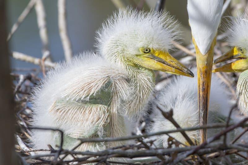 Primer blanco recién nacido de la garceta fotografía de archivo