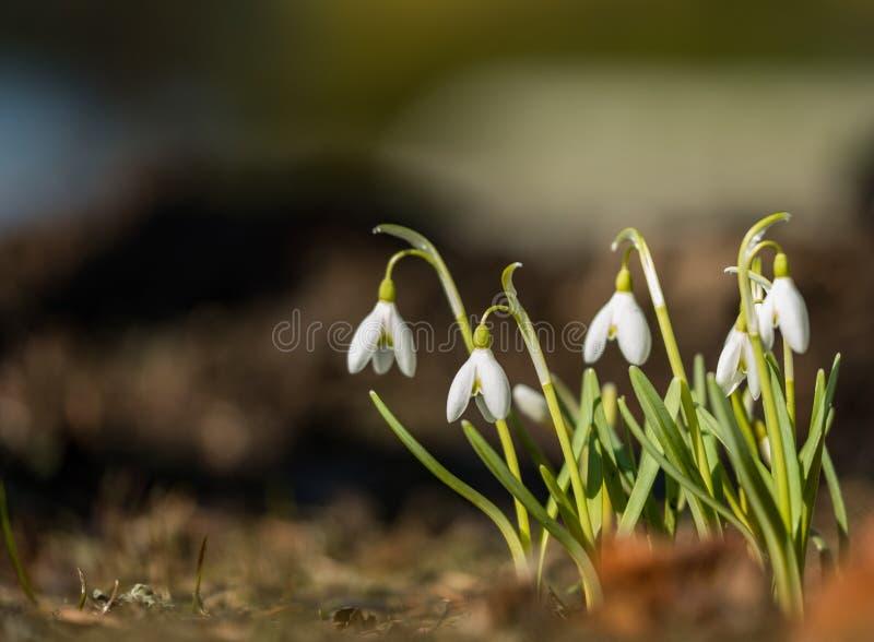 Primer blanco salvaje de los snowdrops en macro de la primavera imagen de archivo libre de regalías