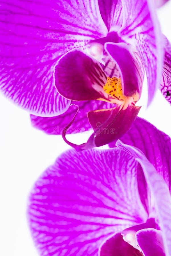 Primer blanco y púrpura del extremo de la orquídea del Phalaenopsis imágenes de archivo libres de regalías