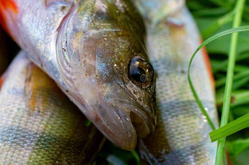 Primer cogido de la perca de los pescados imágenes de archivo libres de regalías
