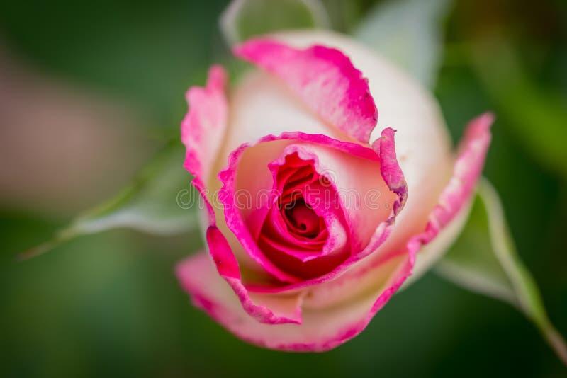 Primer color de rosa del color de rosa hermoso fotos de archivo