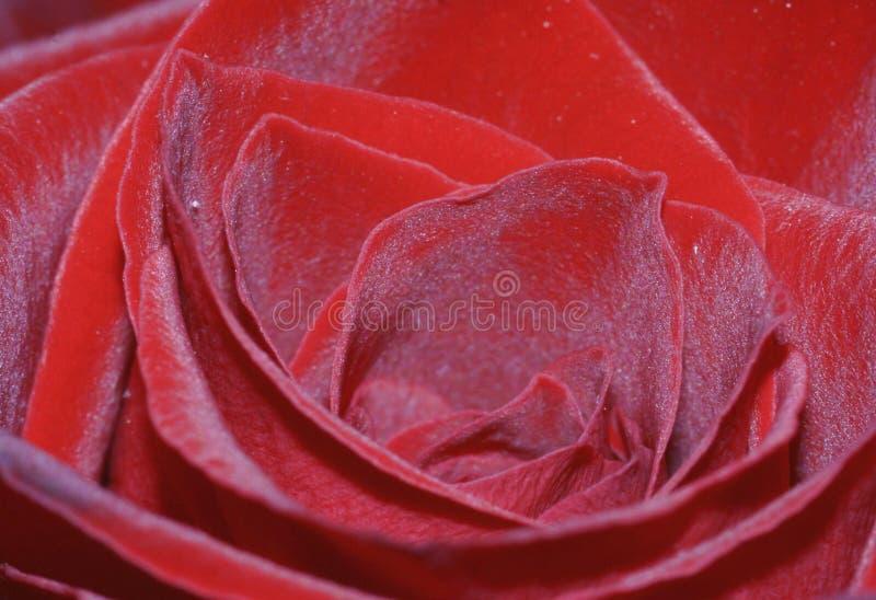Primer color de rosa del rojo imagenes de archivo