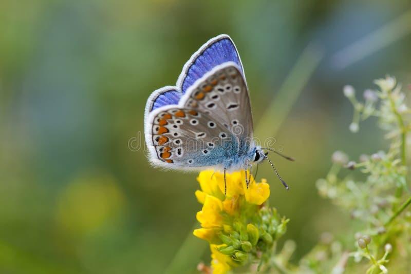 Primer colorido de la mariposa La naranja azul hilo de araña-se fue volando a Polyommatus Ícaro en la flor amarilla Paisaje del t foto de archivo libre de regalías