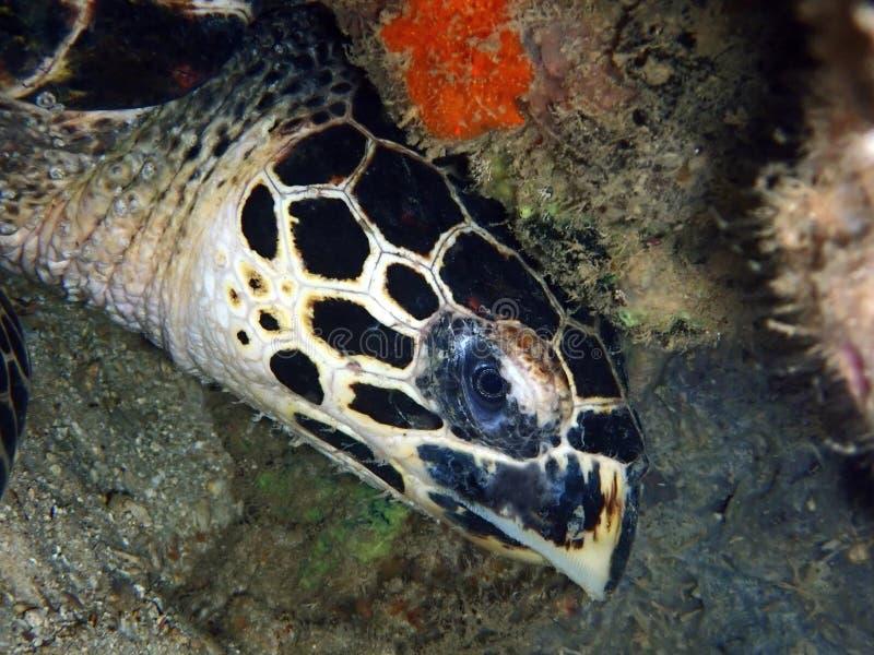 Primer con la tortuga de mar hermosa de Hawksbill durante una zambullida del ocio en Tunku Abdul Rahman Park, Kota Kinabalu Sabah imagen de archivo