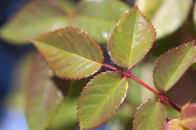 Primer de algunas hojas color de rosa en un jardín imágenes de archivo libres de regalías