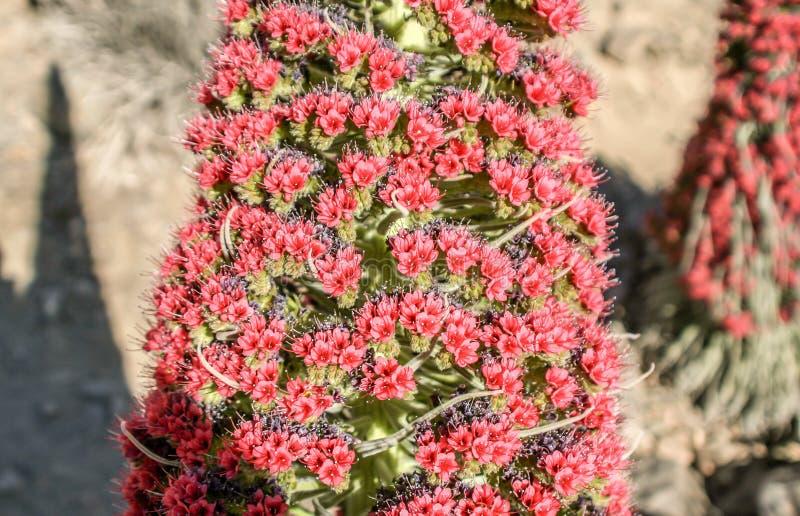 Primer de antorchas rojas del soporte de un bugloss del teide imagenes de archivo
