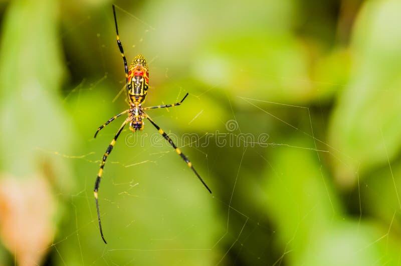 Primer de 5 arañas amarillas y negras legged fotografía de archivo