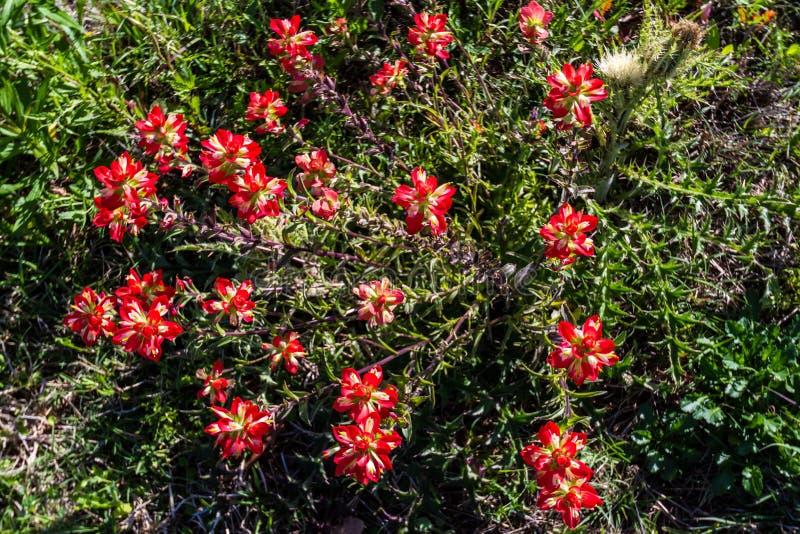 Primer de arriba de un racimo de Wildflowers anaranjados brillantes de la brocha india imagen de archivo