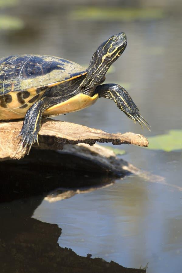 Primer de asolear de la tortuga imagen de archivo