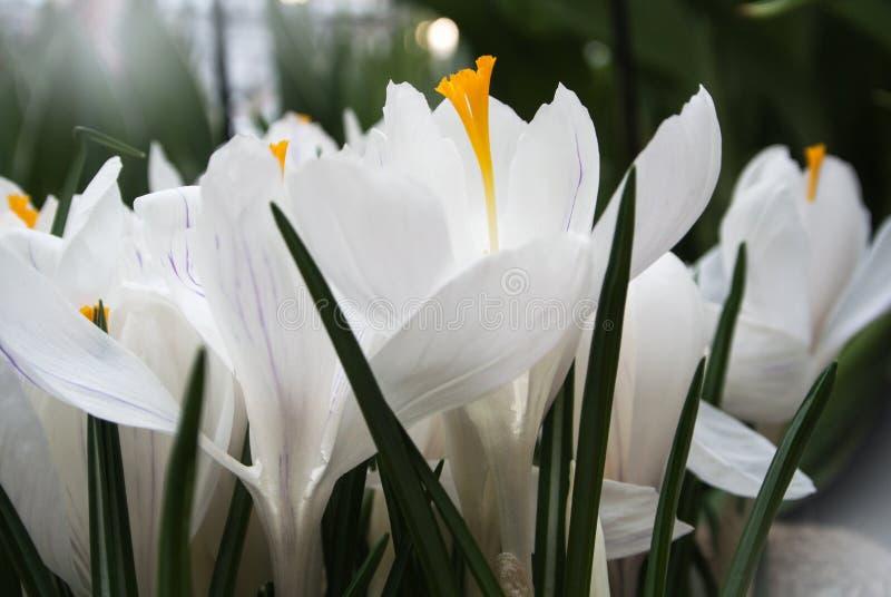 Primer de azafranes blancas vibrantes enormes fotografía de archivo