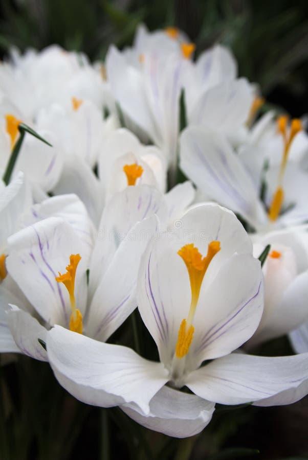 Primer de azafranes blancas vibrantes enormes con los detalles violetas imagen de archivo