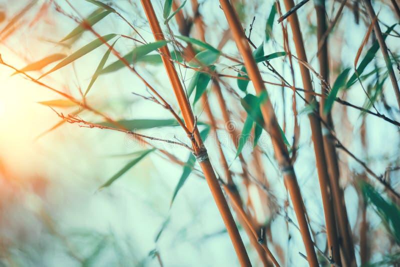 Primer de bamb? del bosque Diseño cada vez mayor de la frontera de los bambúes sobre fondo soleado borroso foto de archivo libre de regalías