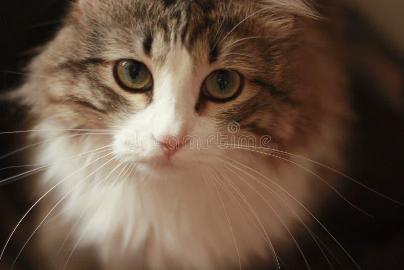 Primer de Cat Sad Look hipnótica en la cámara imagen de archivo libre de regalías