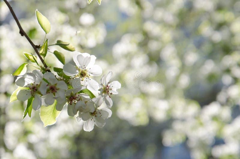 Primer de cerezos florecientes en un día de primavera soleado fotografía de archivo