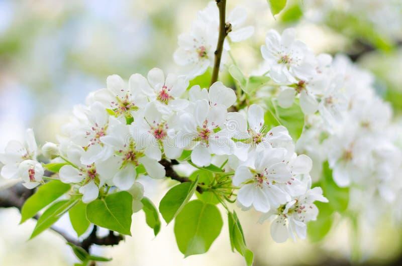 Primer de cerezos florecientes en un día de primavera soleado imagenes de archivo
