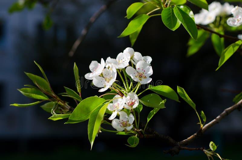 Primer de cerezos florecientes en un día de primavera soleado imágenes de archivo libres de regalías