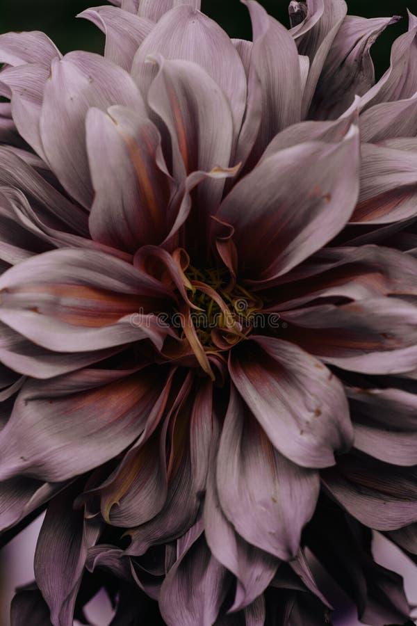 Primer de Dahlia Flower imagenes de archivo