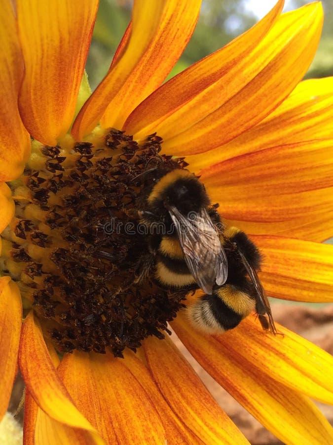 Primer de dos abejorros en el girasol foto de archivo libre de regalías